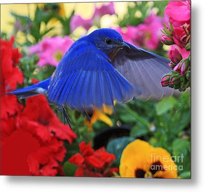 Billy Bluebird Landing Metal Print