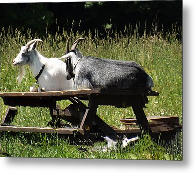 Billy Goats Picnic Metal Print