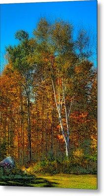 Birch Among The Maples Metal Print