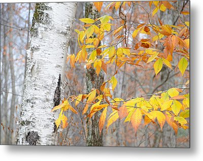 Metal Print featuring the photograph Birch And Beech by Paul Miller
