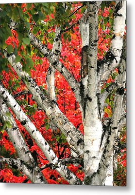 Metal Print featuring the photograph Birch Eclipsing Maple by Doris Potter