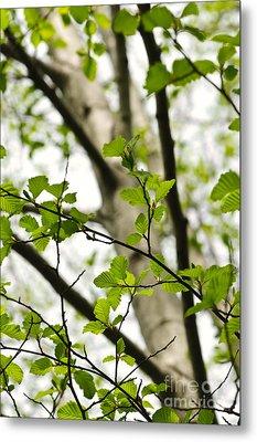Birch Tree In Spring Metal Print by Elena Elisseeva