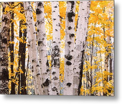 Birch Trees In The Fall Metal Print by Susan Crossman Buscho