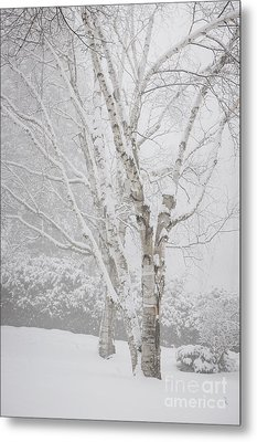 Birch Trees In Winter Metal Print by Elena Elisseeva