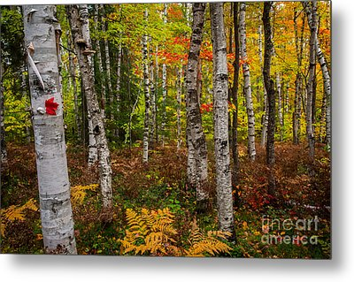 Birch Trees Metal Print by Todd Bielby
