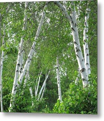 Birches Metal Print by Patricia E Sundik