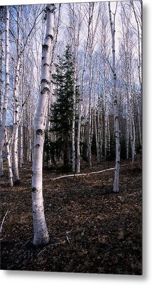 Birches Metal Print by Skip Willits