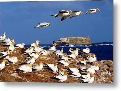 Metal Print featuring the photograph Bird Colony Australia by Henry Kowalski
