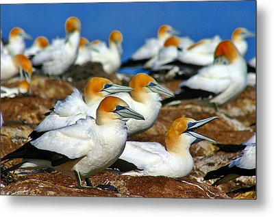 Metal Print featuring the photograph Bird Colony Australia2 by Henry Kowalski
