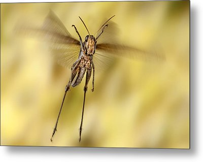 Bird Grasshopper In Flight Metal Print by Robert Jensen