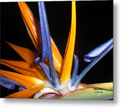 Bird Of Paradise Beauty Limited Edition 7/33 Metal Print by Michele Penn