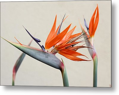 Bird Of Paradise Metal Print by Denice Breaux
