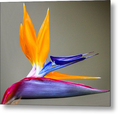 Metal Print featuring the digital art Bird Of Paradise Flower by Photographic Art by Russel Ray Photos