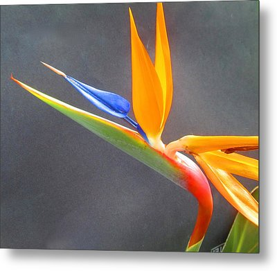 Bird Of Paradise Metal Print by Janet McGrath