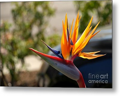 Bird Of Paradise Metal Print by Leo Sopicki