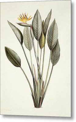 Bird Of Paradise Metal Print by Pierre Joseph Redoute