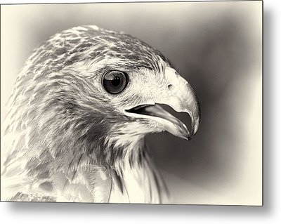 Bird Of Prey Metal Print by Dan Sproul