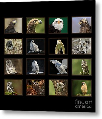 Birds Of Prey Of Canada Metal Print by Inspired Nature Photography Fine Art Photography