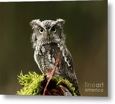 Birds Of Prey Photography Workshop  Feb. 23 2013 Eastern Screech Owl  Metal Print by Inspired Nature Photography Fine Art Photography