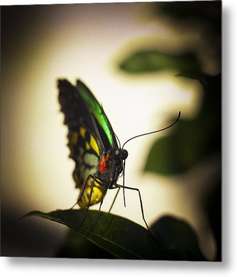 Birdwing Butterfly Metal Print by Bradley R Youngberg