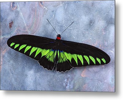 Birdwing Butterfly Trogonoptera  Metal Print by Robert Jensen