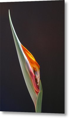 Metal Print featuring the photograph Birth Of Paradise by Evelyn Tambour