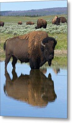 Bison Bull Reflecting Metal Print by Ken Archer