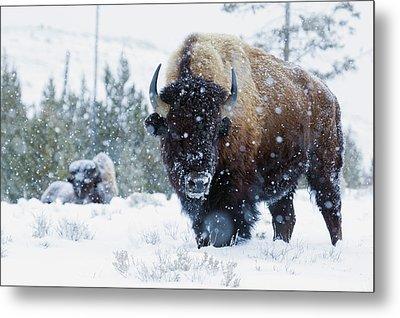 Bison Bulls, Winter Landscape Metal Print by Ken Archer