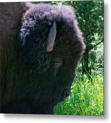Bison Close Up Metal Print