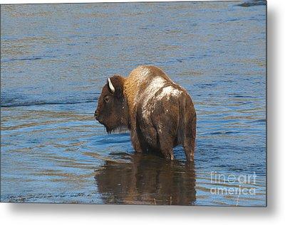Bison Crossing River Metal Print