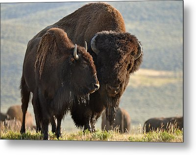 Bison Friends Metal Print