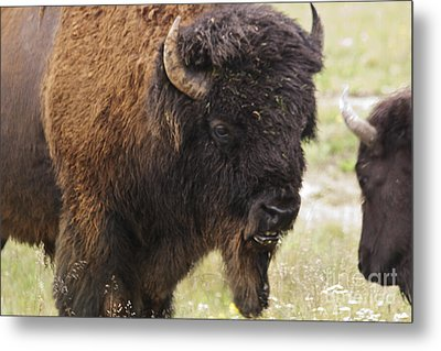 Metal Print featuring the photograph Bison From Yellowstone by Belinda Greb