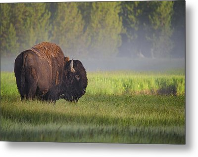 Bison In Morning Light Metal Print