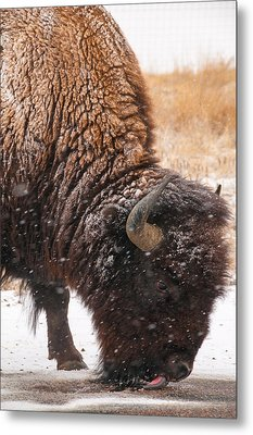 Bison In Snow_1 Metal Print