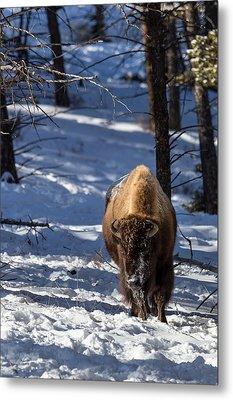 Bison In Winter Metal Print