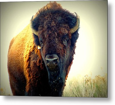 Bison On Antelope Island Metal Print by Heidi Manly