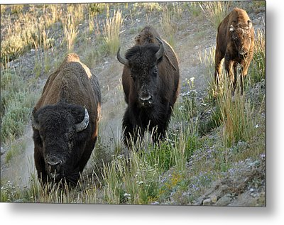 Bison On The Run Metal Print by Bruce Gourley