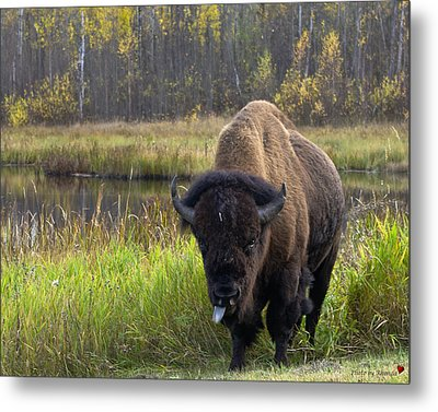 Metal Print featuring the photograph Bison by Rhonda McDougall
