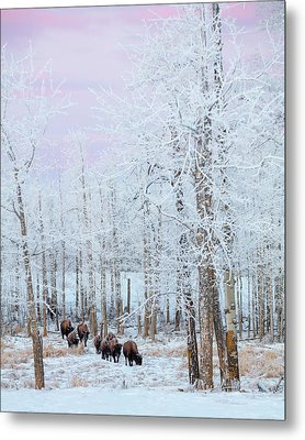 Bison Walking In The Early Morning Metal Print by Ron Harris