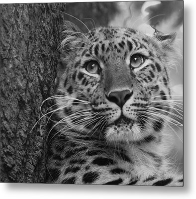 Black And White Amur Leopard Metal Print
