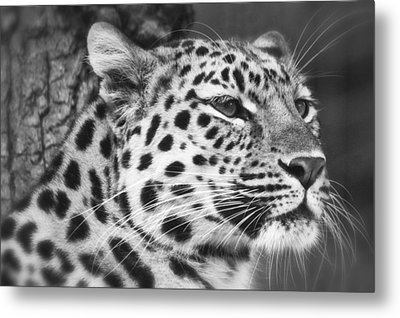 Black And White - Amur Leopard Portrait Metal Print