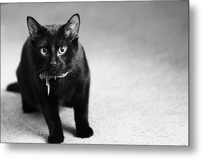 Black And White Cat Metal Print by Dan Sproul