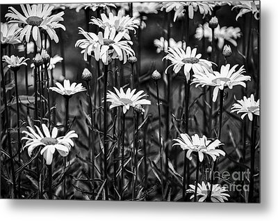 Black And White Daisies Metal Print