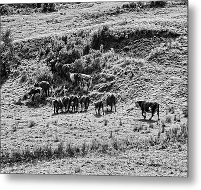 Black And White Photo Of Cows Grazing On Grass In Maine Metal Print by Keith Webber Jr