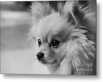 Black And White Portrait Of Pixie The Pomeranian Metal Print