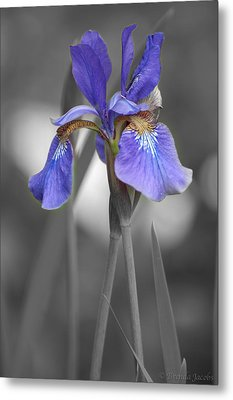 Black And White Purple Iris Metal Print by Brenda Jacobs