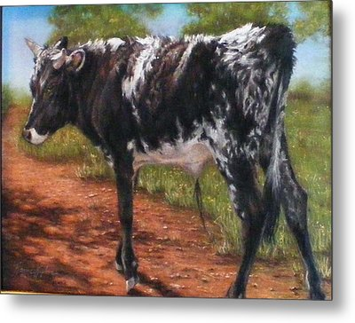Black And White Shorthorn Steer Metal Print