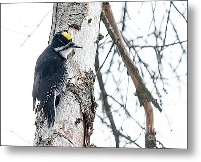 Black-backed Woodpecker Metal Print by Cheryl Baxter