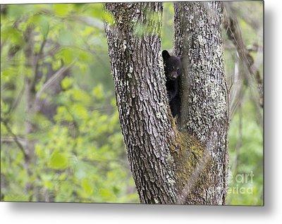 Black Bear Cub In Fork Of Tree Metal Print by Dan Friend
