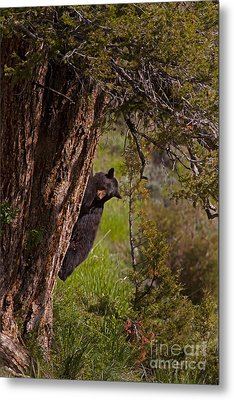 Metal Print featuring the photograph Black Bear In A Tree by J L Woody Wooden